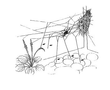 セアカゴケグモの画像 p1_22