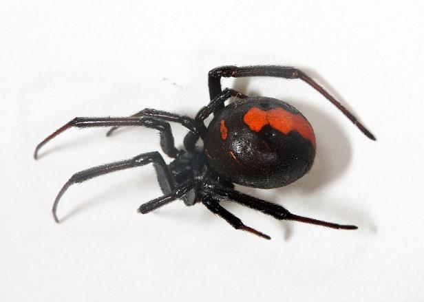 セアカゴケグモ