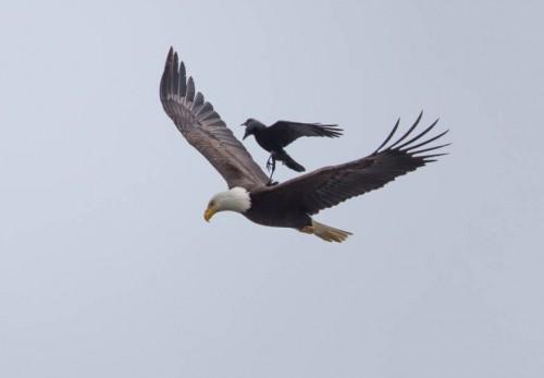 2_crow-rides-eagle-bird-photography-phoo-chan-5