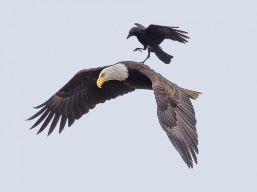 3_crow-rides-eagle-bird-photography-phoo-chan-1