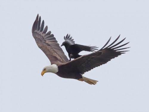 4_crow-rides-eagle-bird-photography-phoo-chan-2