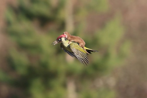weasel-riding-woodpecker-wildlife-photography-martin-le-may-1