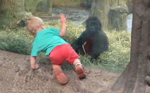 2 Gorilla_plays_peek_3424842b