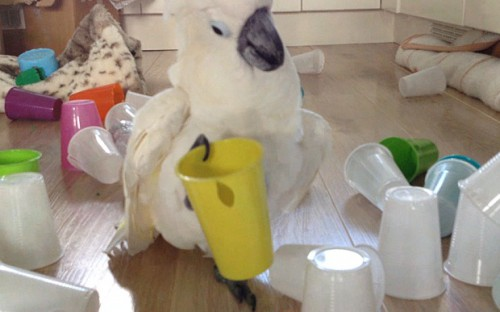 Cockatoo_with_cup_3466696b