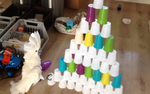 Cockatoo_with_cups_3466702b