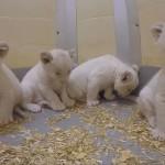 希少なホワイトライオンの赤ちゃんの動画をカナダ・トロント動物園が公開!!