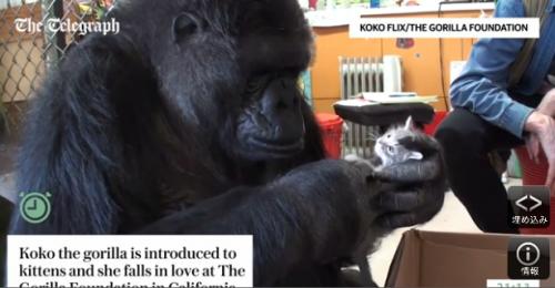 gorilla and kitten