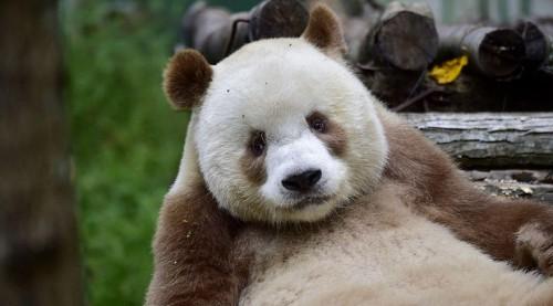 abandoned-brown-panda-qizai-5