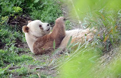 abandoned-brown-panda-qizai-9