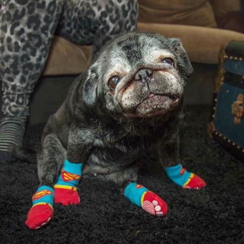 sock-pug-leia-3