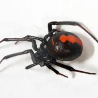 セアカゴケグモの巣の見分け方は?毒や対処法について!